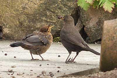 gina_wright_blackbird_feeding_young_chick.jpg